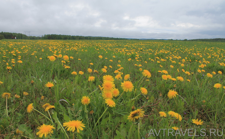поле одуванчиков майская прогулка сысерть