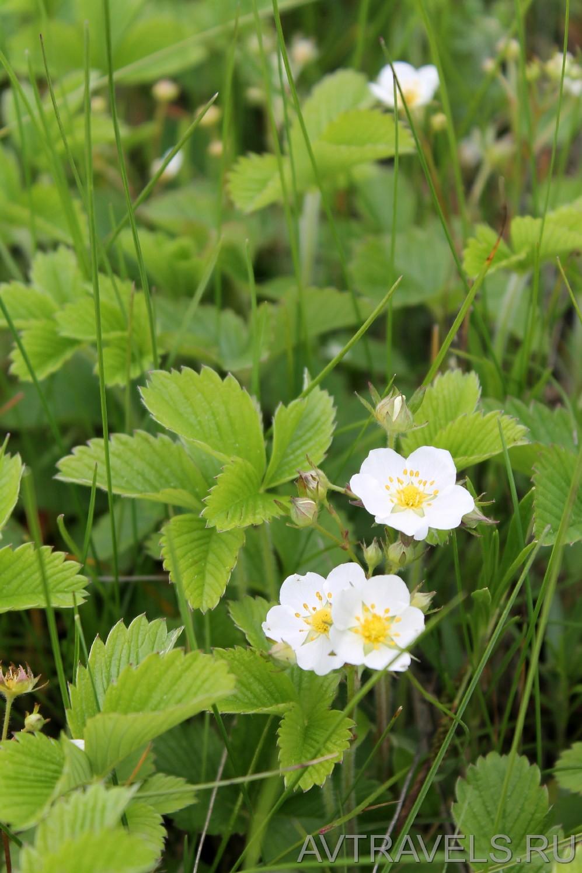 цветы лесной клубники