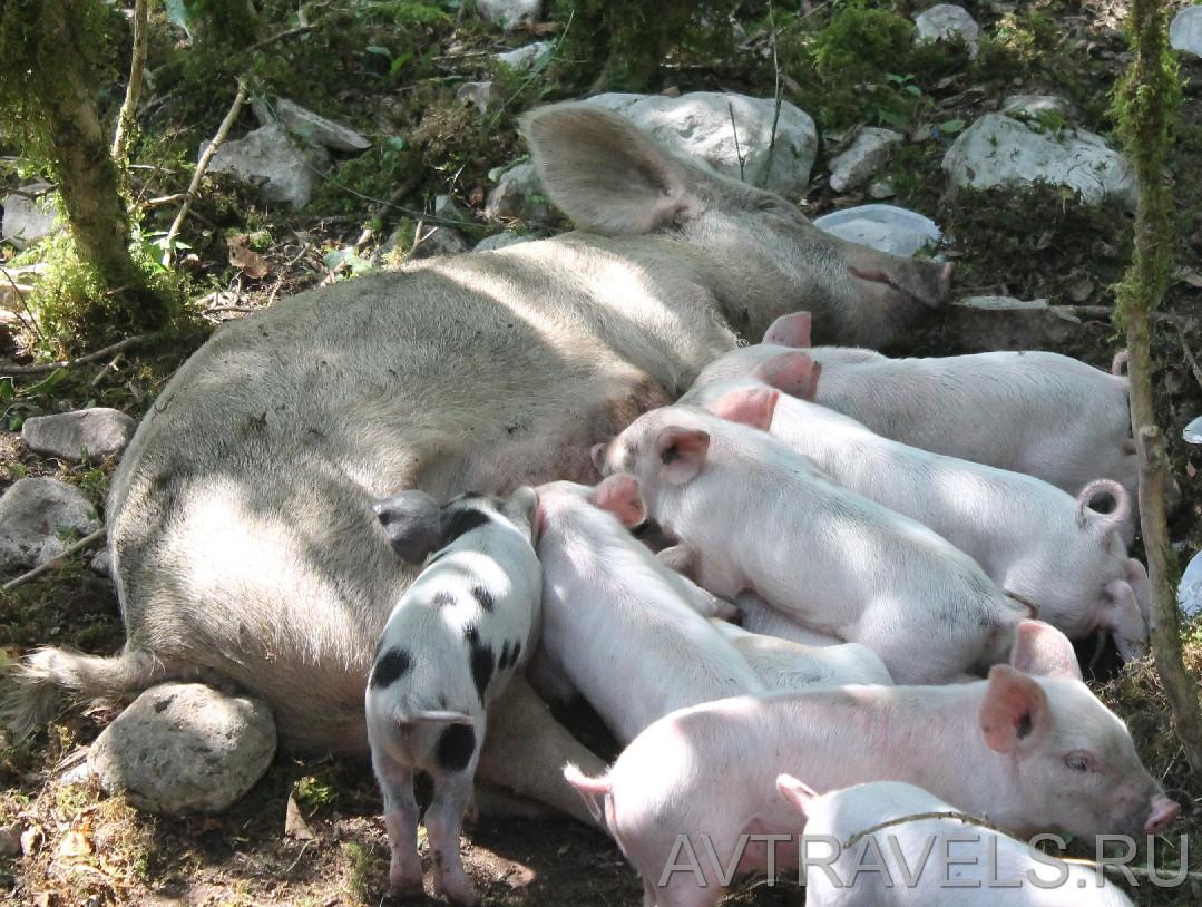 свинья с поросятами Грузия