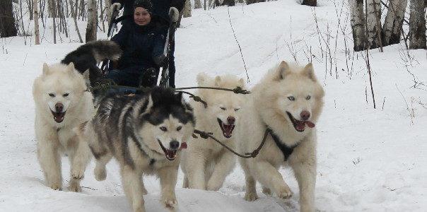 Наша экскурсия  в питомник ездовых собак «Эльбрус» 26.03.2019