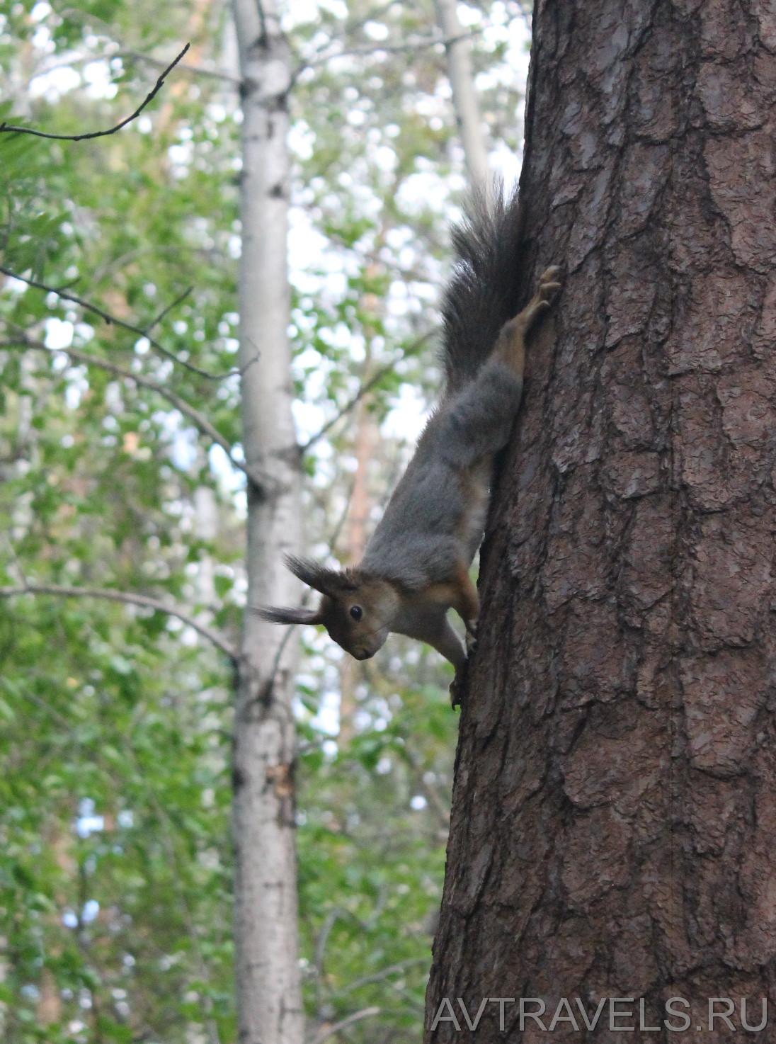 белка Юго-западный лесопарк Екатеринбург