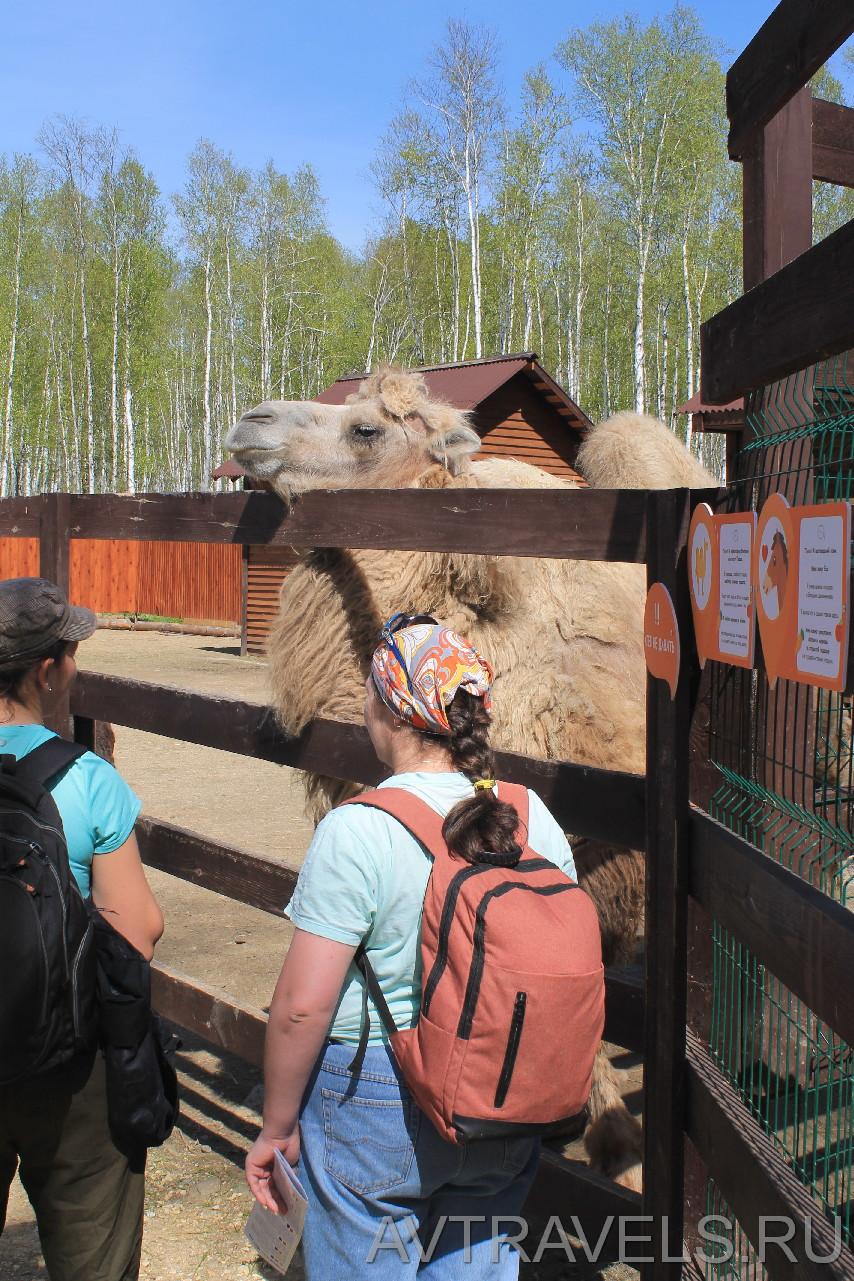 Сысертская майская прогулка 2019 верблюд